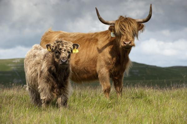 Domestic Cattle, Highland Cattle, cow with calf, standing on moorland, England, july