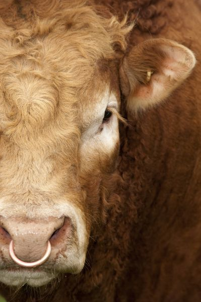 Domestic Cattle, Limousin, bull, close-up of face, with ring through nose, England, may