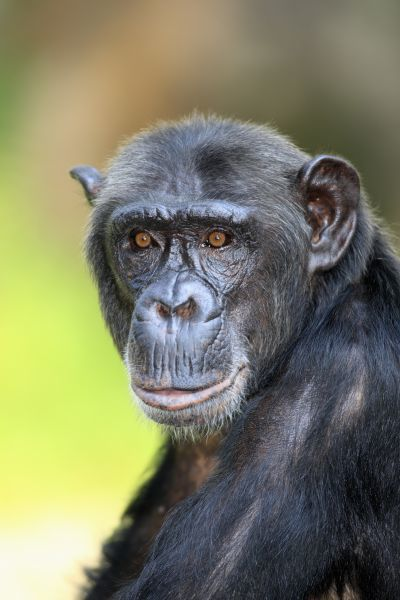 10254-00446-249. Chimpanzee (Pan troglodytes) adult, close-up of head (captive)