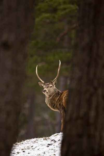 Red Deer (Cervus elaphus) stag, standing between trees in snow covered pine forest, Cairngorm N.P., Highlands, Scotland, january