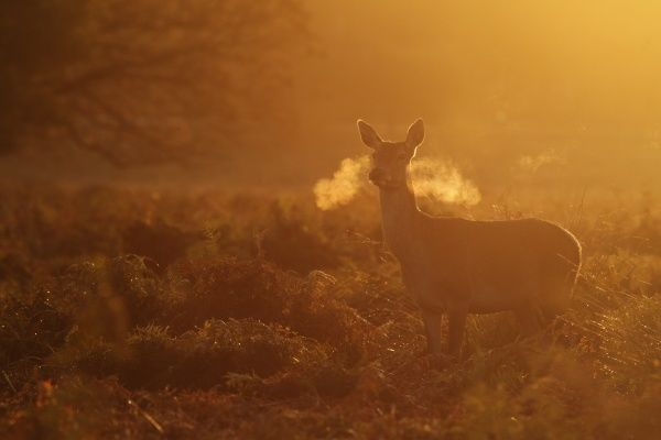 Red Deer (Cervus elaphus) hind, standing alert, breath condensing in cold air at dawn, Richmond Park, London, England, october