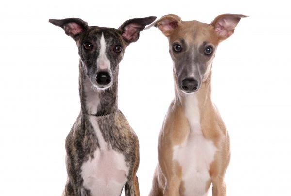10322-03678-831. Domestic Dog, Whippet, two adults, close-up of heads