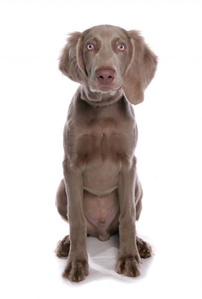 10322-03690-831. Domestic Dog, Weimaraner, male puppy, sitting
