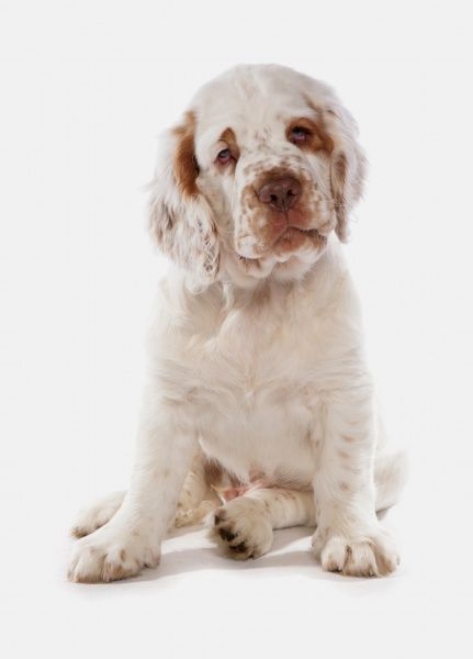 10322-03705-831. Domestic Dog, Clumber Spaniel, puppy, sitting