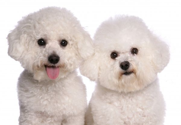 10322-03710-831. Domestic Dog, Bichon Frise, two adults, close-up of heads