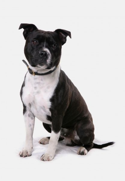 Domestic Dog, Staffordshire Bull Terrier, adult female, with collar, sitting