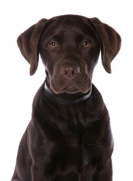 Domestic Dog, Chocolate Labrador Retriever, male puppy, close-up of head, with collar