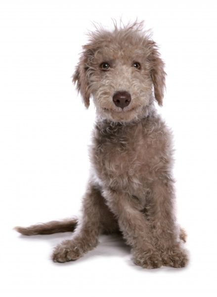 10322-03773-831. Domestic Dog, Bedlington Terrier, puppy, sitting
