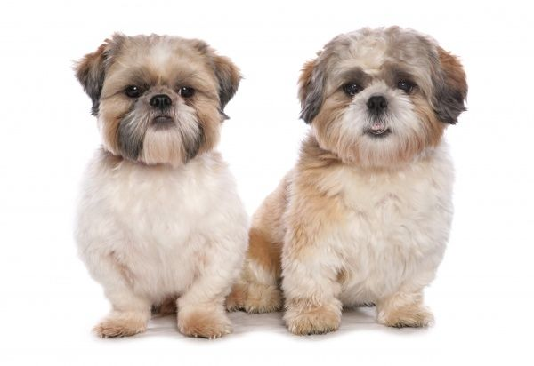 10322-03785-831. Domestic Dog, Shih Tzu, two adults, sitting