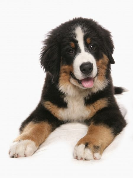 10322-03805-831. Domestic Dog, Bernese Mountain Dog, puppy, laying