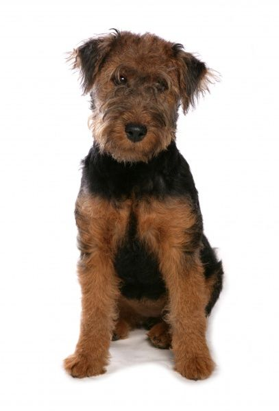 10322-03858-831. Domestic Dog, Welsh Terrier, puppy, sitting