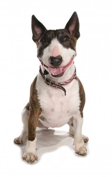 10322-03880-831. Domestic Dog, Bull Terrier, adult female, sitting, with collar