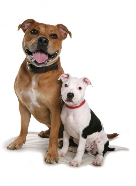 Domestic Dog, Staffordshire Bull Terrier, adult male and puppy, sitting, with collars