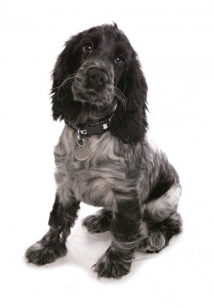 Domestic Dog, English Cocker Spaniel, female puppy, thirteen-weeks old, sitting, with collar and tag