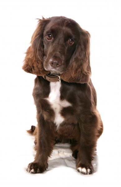 10322-03932-831. Domestic Dog, Working Spaniel, adult, sitting, with collar