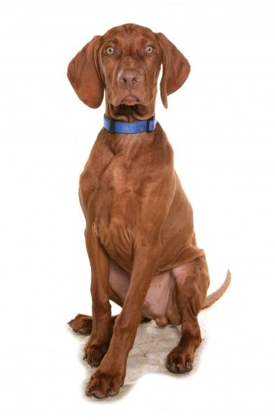 Domestic Dog, Short-haired Hungarian Vizsla, male puppy, sitting, with collar