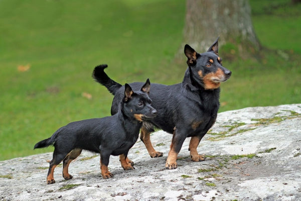 10322-04359-221. Domestic Dog, Lancashire Heeler, adult male and puppy, standing