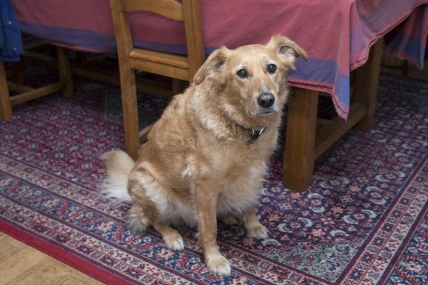 Domestic Dog, mongrel, elderly adult male, sitting on rug beside table and chairs, England