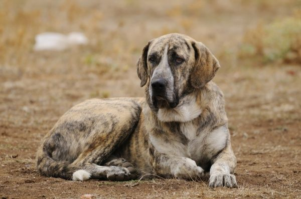 Domestic Dog, Spanish Mastiff, adult male, resting, used as cattle dog in dehesa, Salamanca, Castile and Leon, Spain, september