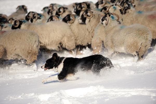 Domestic Dog, Border Collie sheepdog, adult, herding Swaledale sheep flock in snow, Cumbria, England, november