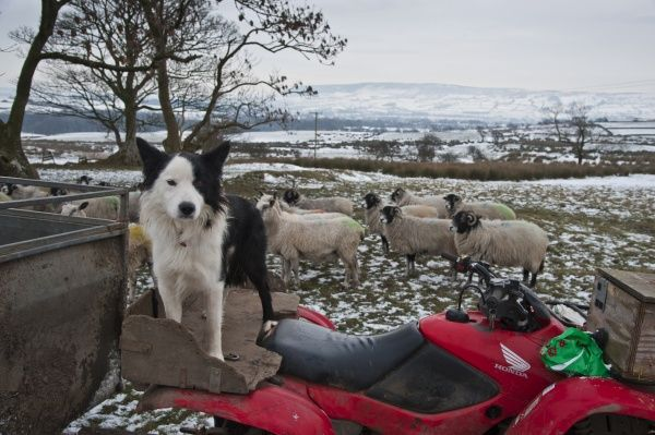 Domestic Dog, Collie sheepdog, adult, standing on quad bike, with Swaledale ewes on snow covered pasture in background, Chipping, Lancashire, England, december