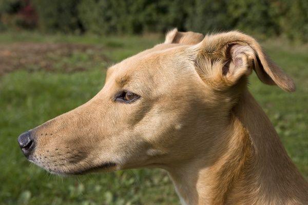 Domestic Dog, Lurcher cross mongrel, adult female, close-up of head, pricking ears back, England, september