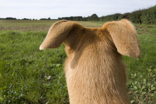 Domestic Dog, Lurcher cross mongrel, adult female, rear view of head, pricking ears back, looking across farmland, England, september