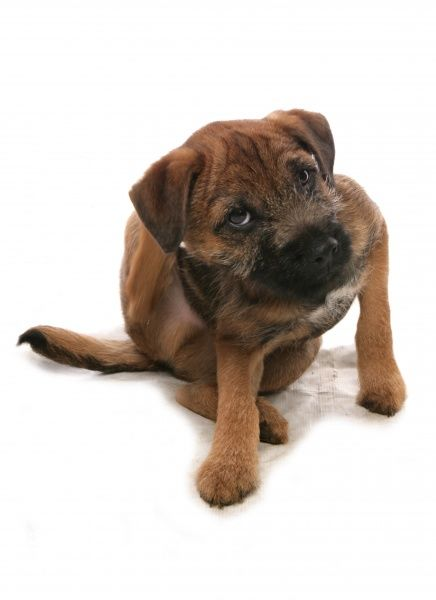 10348-00195-831. Domestic Dog, Border Terrier, puppy, scratching with hind leg