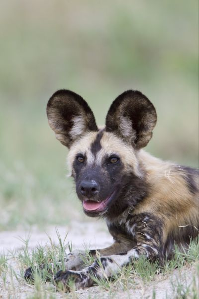 African Wild Dog (Lycaon pictus) adult, close-up of head, resting on sandy grass area, Okavango Delta, Botswana