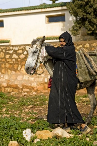 Mule, adult, pack animal with Berber man, near Essaouira, Morocco, february