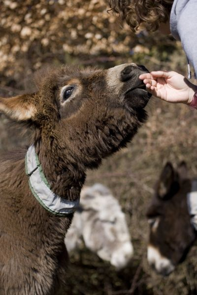Donkey, adult male, with reflective collar on neck, being stroked by woman, New Forest, Hampshire, England, march