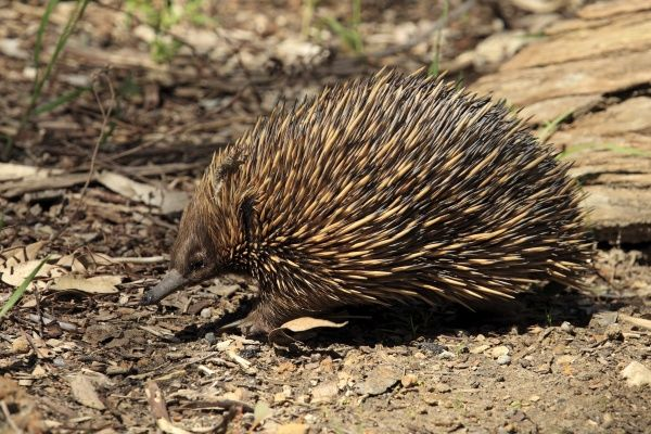 Short-nosed Echidna (Tachyglossus aculeatus) adult, foraging, South Australia, Australia