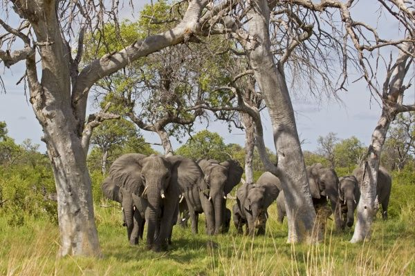African Elephant (Loxodonta africana) adult females with calves, herd approaching through trees, Okavango Delta, Botswana