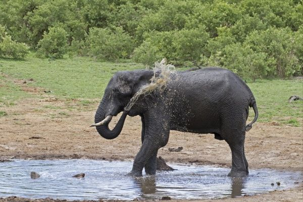 African Elephant (Loxodonta africana) adult male, spraying water and mud at drinking pool, Savute, Chobe N.P., Botswana