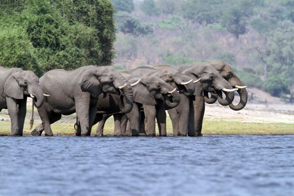 African Elephant (Loxodonta africana) adults, herd drinking at edge of water, Chobe River, Chobe N.P., Botswana