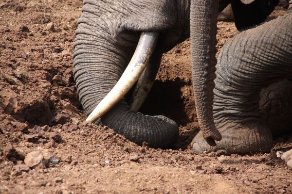 African Elephant (Loxodonta africana) adult with calf, close-up of trunks and feet, digging with tusks and feeding on mineral salts from salt lick, The Ark, Aberdare N.P., Aberdare Mountain Range, Kenya