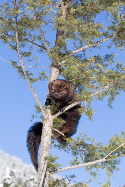 Fisher (Martes pennanti) adult, climbing in tree, Montana, U.S.A, january (captive)