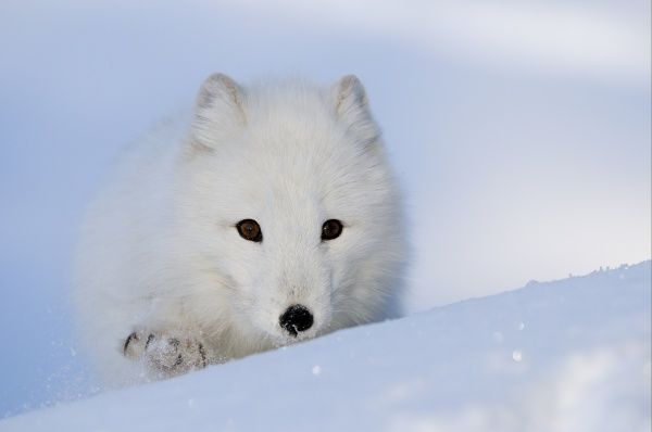 Arctic Fox (Alopex lagopus) adult, white coat, walking in snow, Norway, february (captive)