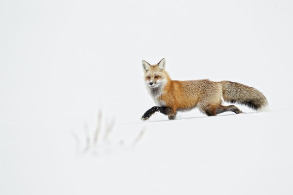 American Red Fox (Vulpes vulpes fulva) adult, walking on snow, Yellowstone N.P., Wyoming, U.S.A., february