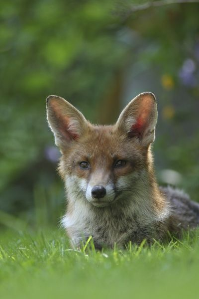 European Red Fox (Vulpes vulpes) adult, resting on lawn in urban garden, London, England, may