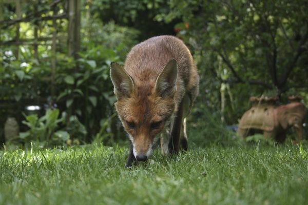 European Red Fox (Vulpes vulpes) adult, foraging on lawn in urban garden, London, England, may