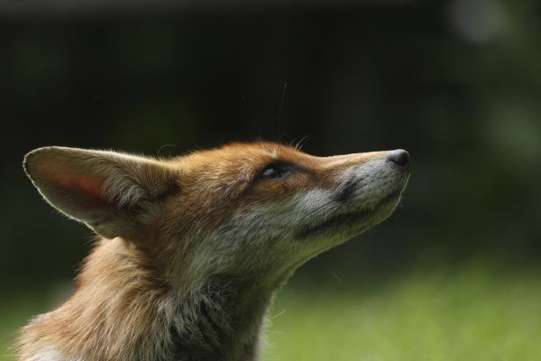 European Red Fox (Vulpes vulpes) adult, close-up of head, in urban garden, London, England, may