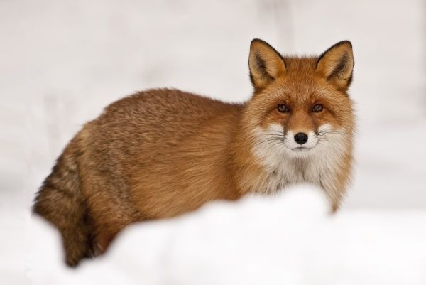 European Red Fox (Vulpes vulpes) adult, standing in snow, Norway, february