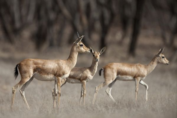10433-00025-852. Indian Gazelle (Gazella bennettii) adult females with young