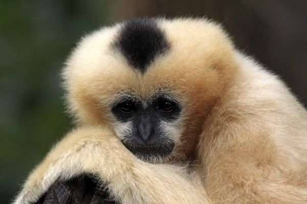 Black Crested Gibbon (Nomascus concolor) adult female, close-up of head (captive)