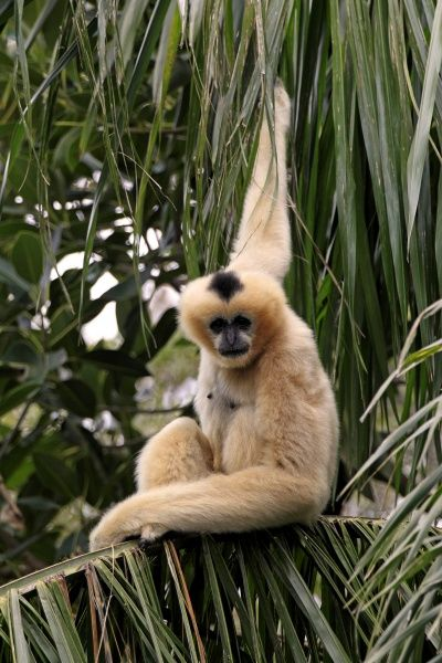 Black Crested Gibbon (Nomascus concolor) adult female, sitting on palm fronds (captive)