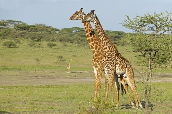 Masai Giraffe (Giraffa camelopardalis tippelskirchi) two adult males, standing side by side prior to fighting, 'necking' or 'neck-sparring', Serengeti N.P., Tanzania