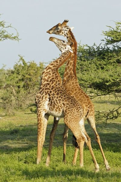 Masai Giraffe (Giraffa camelopardalis tippelskirchi) two adult males, fighting, 'necking' or 'neck-sparring', Serengeti N.P., Tanzania