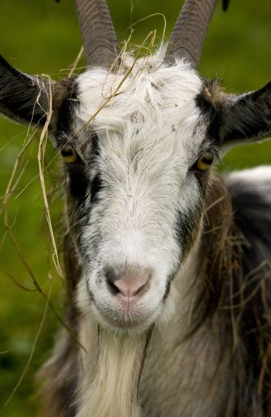 Domestic Goat, Hungarian Goat, adult male, close-up of head covered with grass, Hortobagy N.P., Great Plain, Eastern Hungary, october