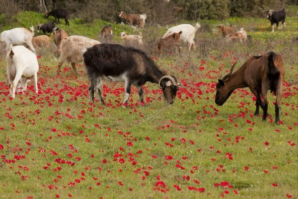 Domestic Goat, herd grazing amongst Peacock Anemone (Anemone pavonina) flowers, Mani Peninsula, Greece, march